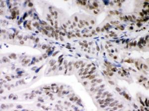 Anti-Daxx Rabbit Polyclonal Antibody