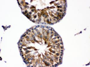 Anti-EDNRB Rabbit Polyclonal Antibody