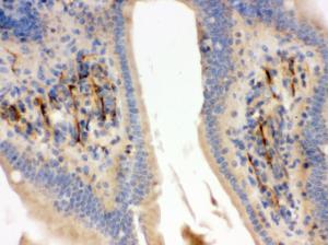 Anti-FLOT2 Rabbit Polyclonal Antibody