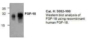 Western blot analysis of FGF-18 using recombinant human FGF-18.