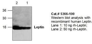 Anti-Leptin Rabbit Polyclonal Antibody