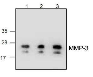 Anti-MMP-3 Rabbit Polyclonal Antibody