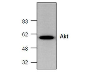 Western blot analysis of Akt expression in mouse small intestine tissue lysate.