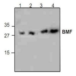 BMF Polyclonal Antibody