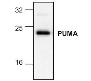 Western blot analysis of PUMA in 3T3 celll lysate.