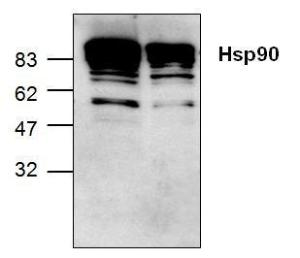 Western blot analysis of Hsp90expression in Jurkat cell lysate(Lane 1) and mouse smallintestine tissue lysate (lane 2).