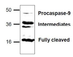 Western blot analysis ofCaspase-9 expressionwith mouse smallintestine tissue lysate.