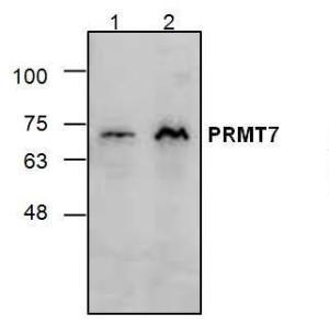 Western blot analysis of PRMT7 using Jurkat cell lysate (Lane1 & 2)
