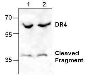 Western blot analysis of DR4 expression in Jurkat cell lysate