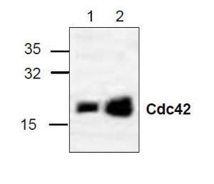 Western blot analysis of cdc42 in 3T3 (Lane 1) and Jurkat (Lane 2) cell lysate.