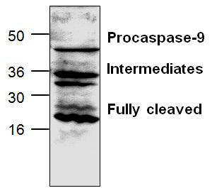 Western blot analysis of caspase-9 expression in mouse intestine tissue lysate.