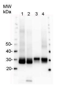 Anti-PsbA Rabbit Polyclonal Antibody (HRP (Horseradish Peroxidase))