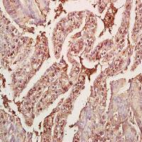 Immunohistochemical analysis of formalin-fixed and paraffin embedded mouse small intestine tissue (dilution at:1:200) using GDF8 antibody