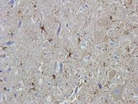 Immunohistochemical staining of paraffin embedded rat spinal cord tissue using GFAP antibody (2.5 ug/ml)