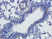 Immunohistochemical staining of paraffin embedded mouse lung tissue using anti-GFAP (2.5 ug/ml)