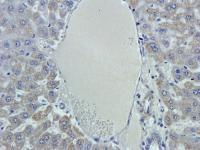 Immunohistochemical staining of paraffin embedded mouse liver tissue using GPC3 antibody (2.5 ug/ml)