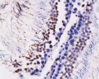 Immunohistochemical staining of rat testis tissue using GRP78 antibody.